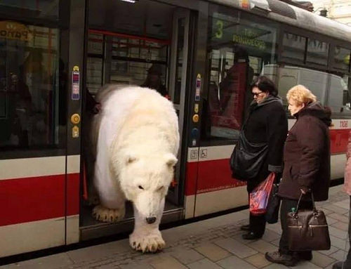 """...and because of melting ice caps, the Polar Bear can travel up to 150 miles a day, looking for a substantial meal. This one is on the final leg of a 2000 mile round trip to Billingsgate Fish Market.."""