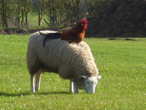 A cock-and-wool story