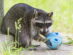 🎵 I came in like a raccoon ball