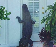 Oh thank goodness its only a crocodile, I thought it was Jehovahs witnesses